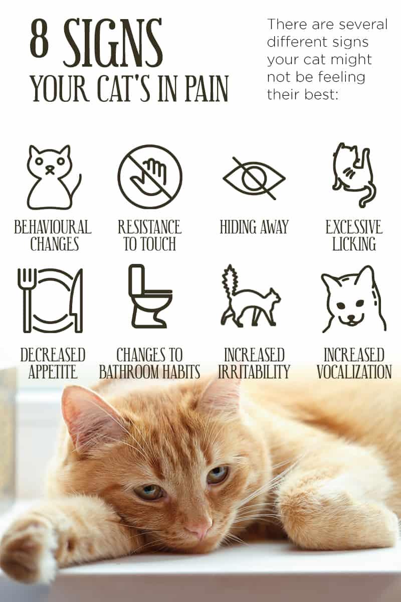 cat pain
